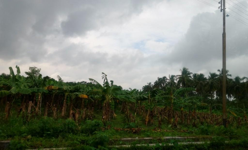 果樹園(バナナ)
